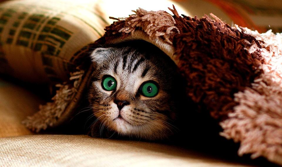 ひょっこりする猫